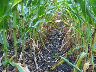 row of corn with yellowing leaves