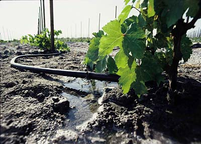 close-up of a drip irrigation line in a young vineyard